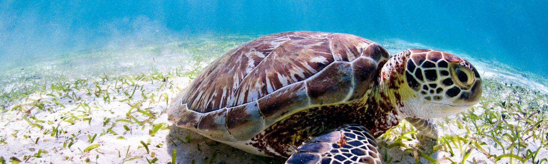 Ørsted og WWF går sammen om at passe på kloden, natur, dyr, jorden, klima, skildpadde, havskildpadde, dykke, vand, havet