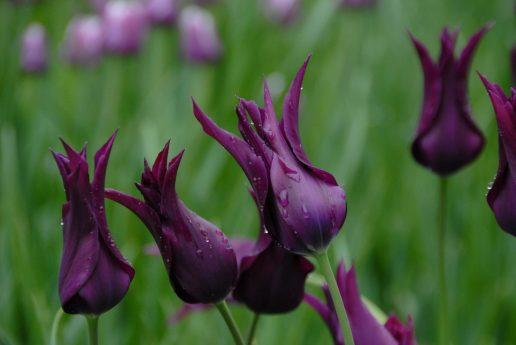 tivoli tulipan blomst plante blomster tulipaner