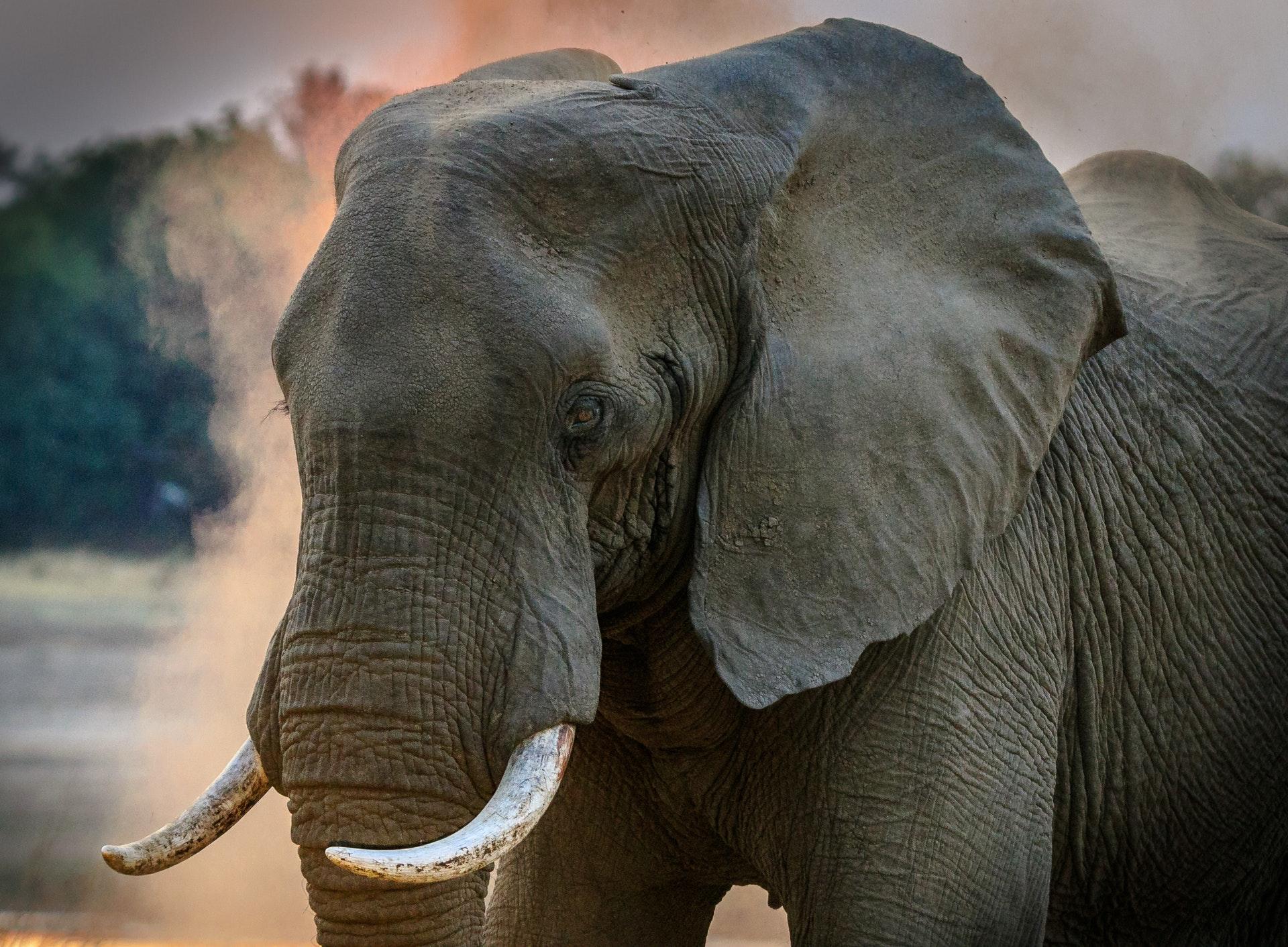 Elefant dyr safari afrika