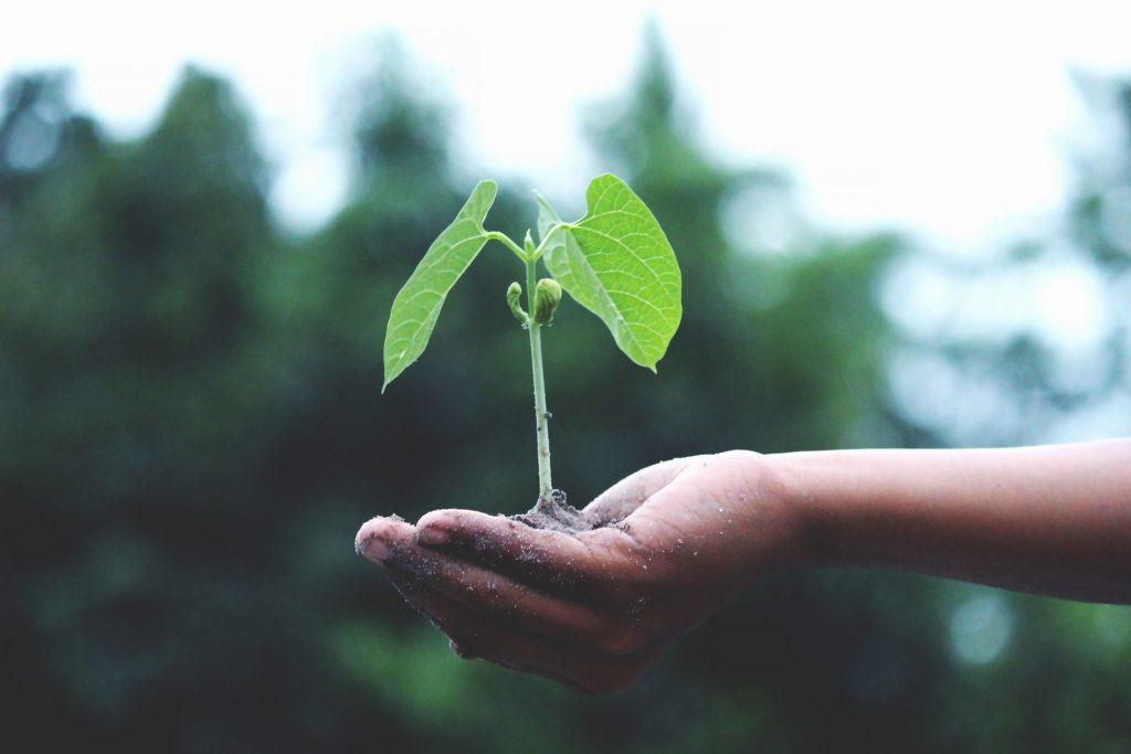 Københavnsk restaurantkæde planter 30.000 træer i Tanzania frø plante