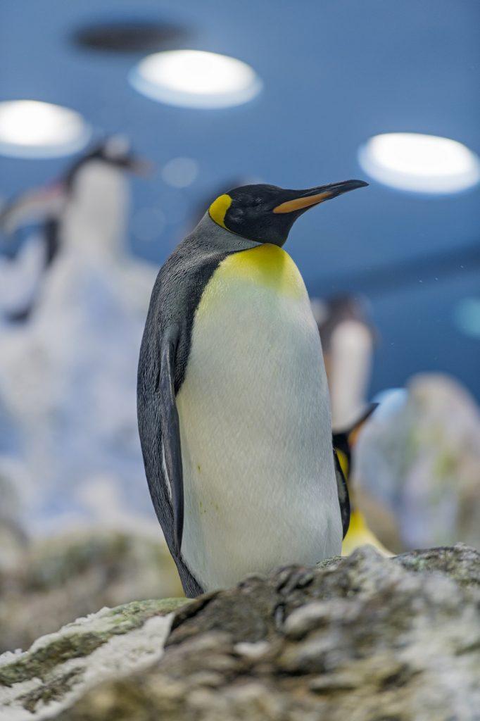 pingvin, kæledyr, penguin, pet, julegaveønske