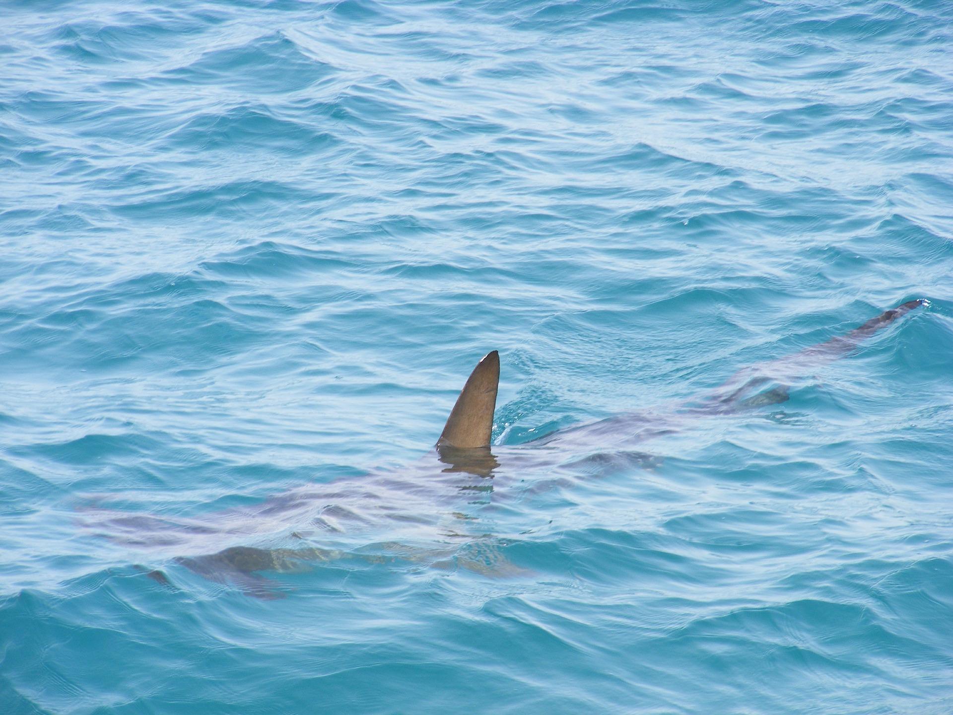 haj hajangreb angreb hajbid hajer australien farlig