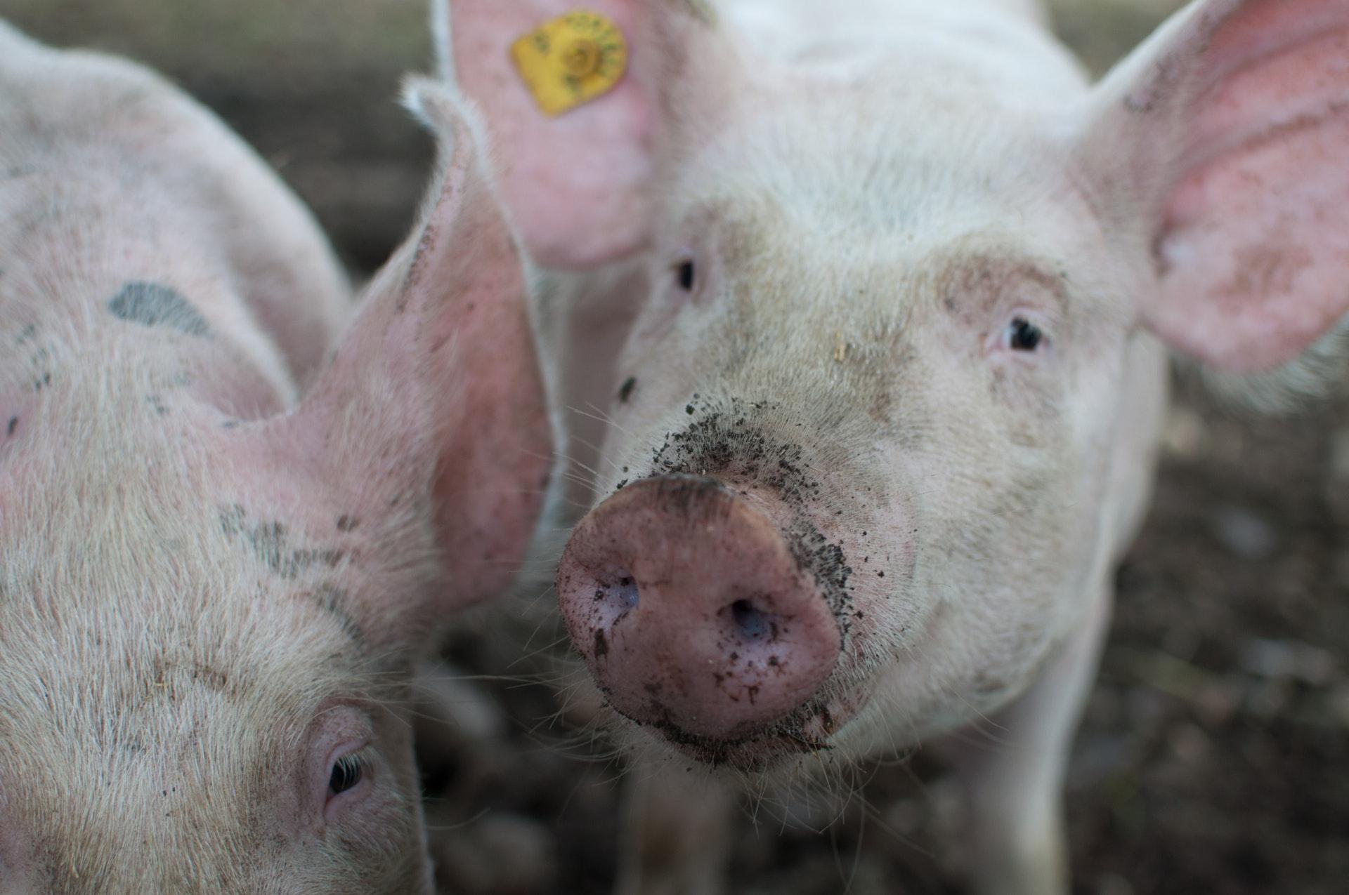 Gris, svin, svinekød, grise, gård, dyr, dyrevelfærd, dyrenes beskyttelse