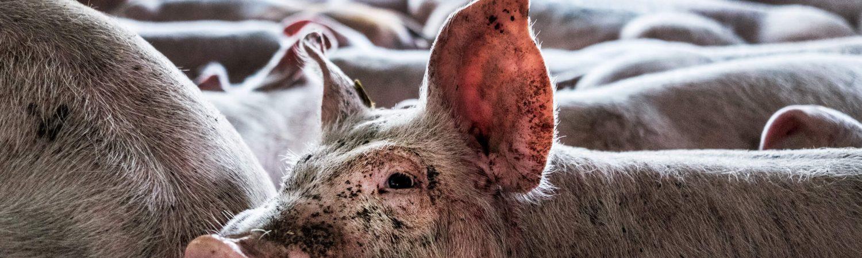 Grise, eksportgrise, dyrenes beskyttelse, dyr, dyrevælfærd, dyremishandling, dyr, gris, svin, svinekød, vegetar, veganer