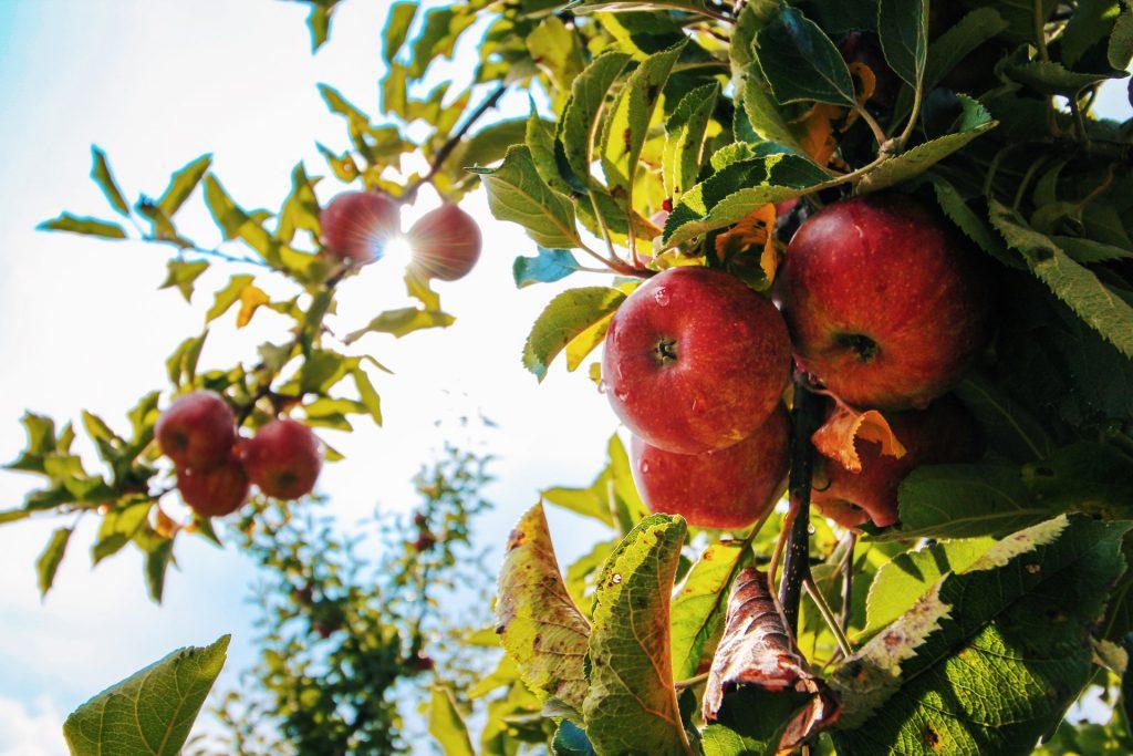 Æble, æbler, frugt, sundt, sundhed, mad, snack