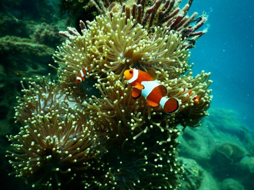 Koral, koralrev, solcreme, hav, havet, vand, fisk, natur, nemo