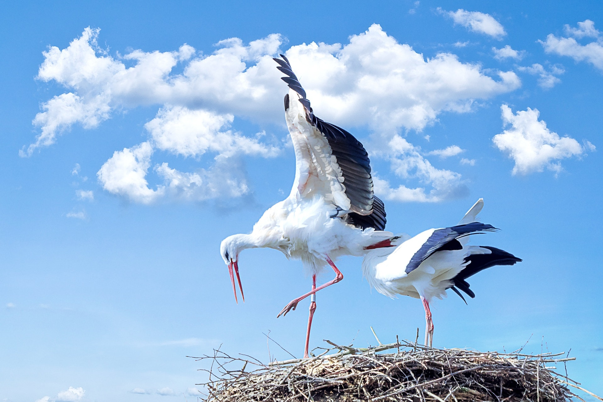 Stork, fugl, danmark, dyr, natur, dyreliv, rede