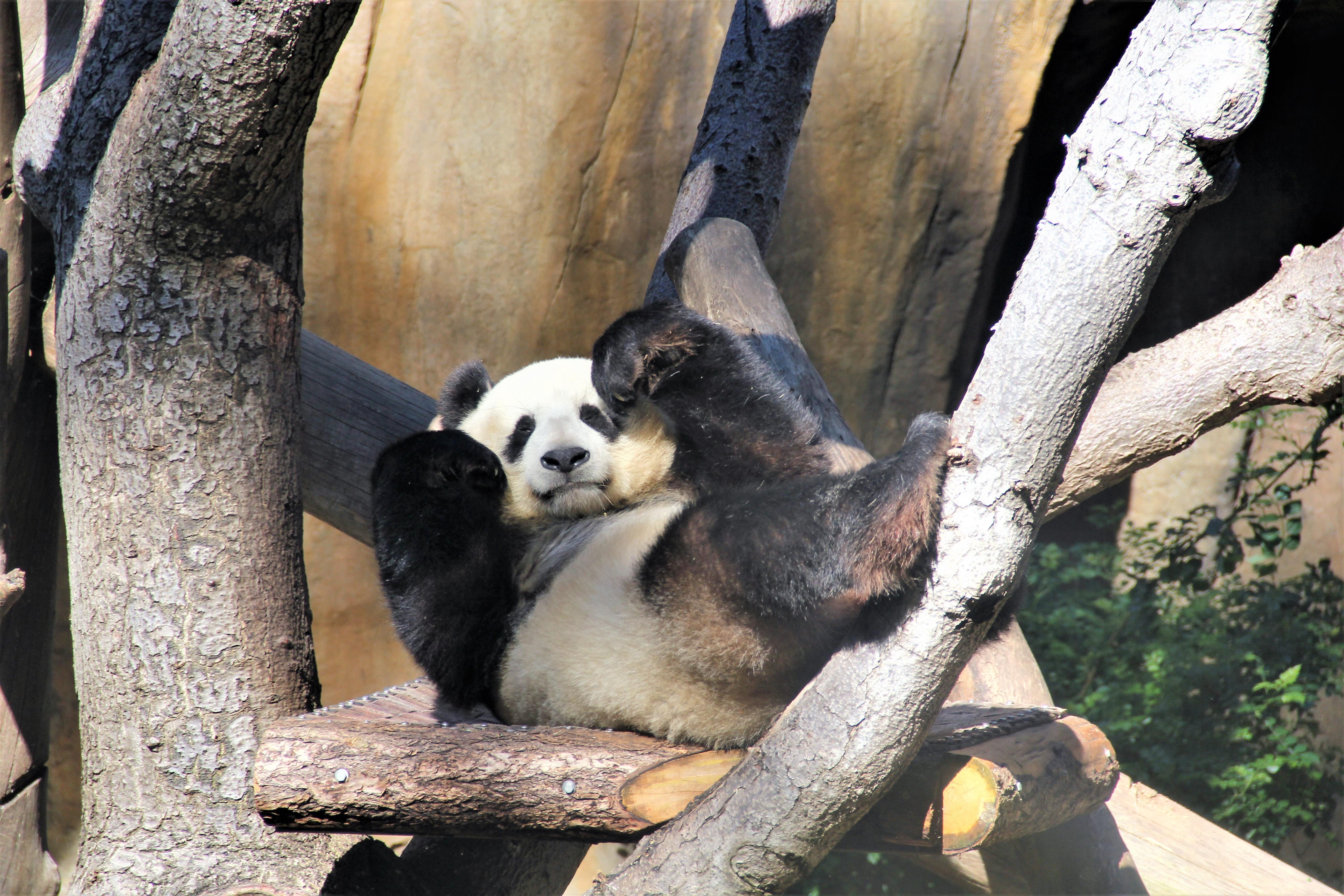 To pandaer kommer til Danmark (Foto: Unsplash)