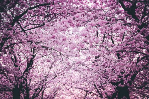sakura, blomster, træ, blomst, pink, lyserød, kirsebærblomst