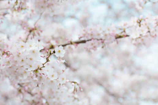 Kirsebærblomst, blomst, pæn, lyserød