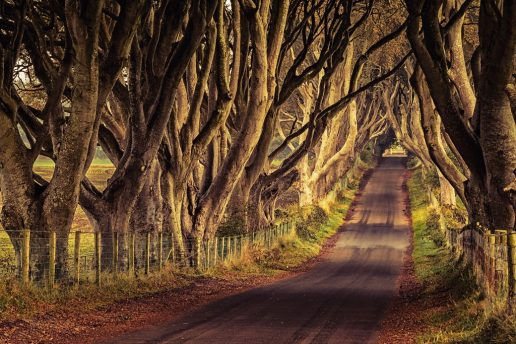 Game of Thrones. The Dark Hedges (Kingsroadf) in County Antrim, Northern Ireland. (Foto: Tourism Ireland)