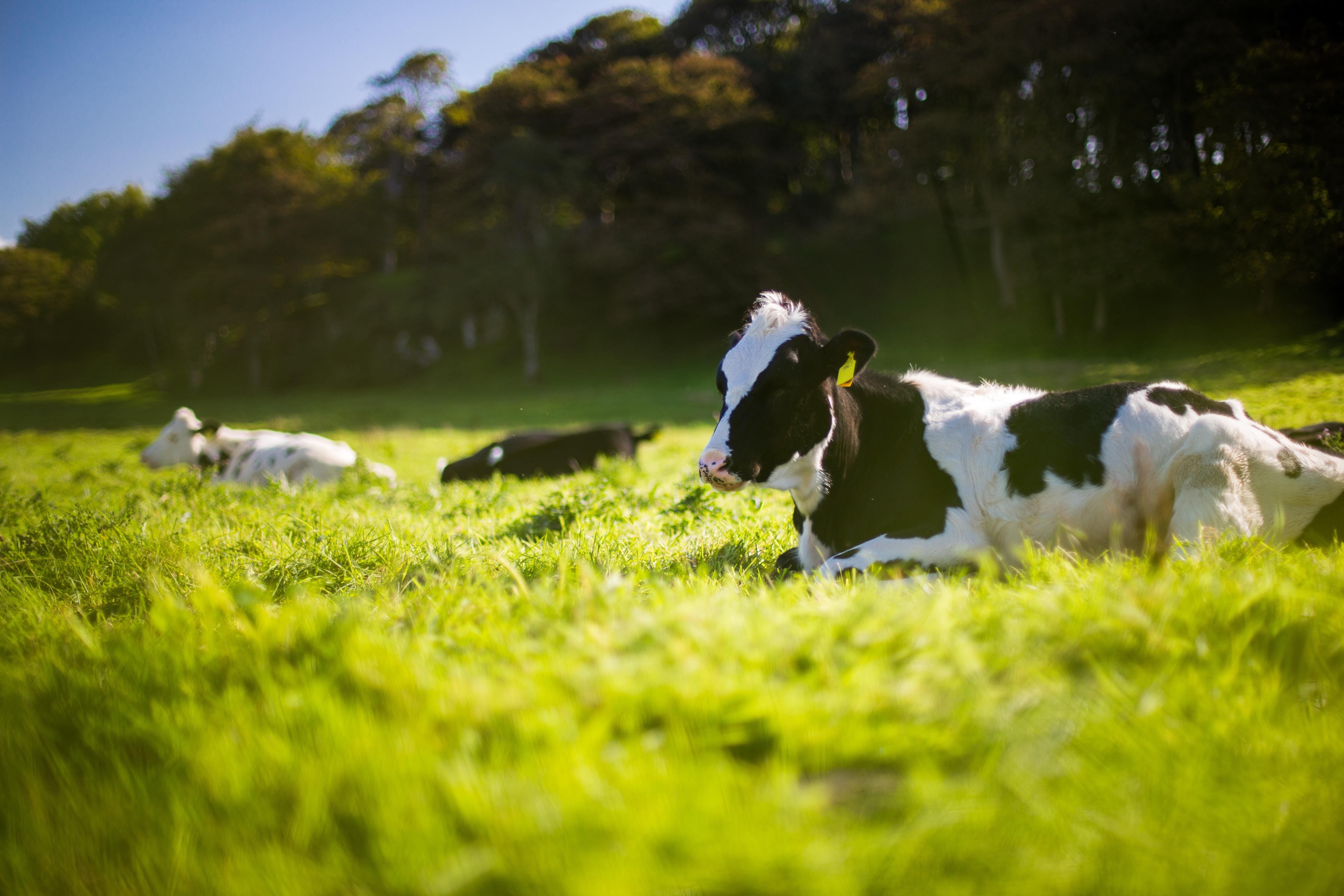 Økodag - køerne løb ud på græs. (Foto: Unsplash)