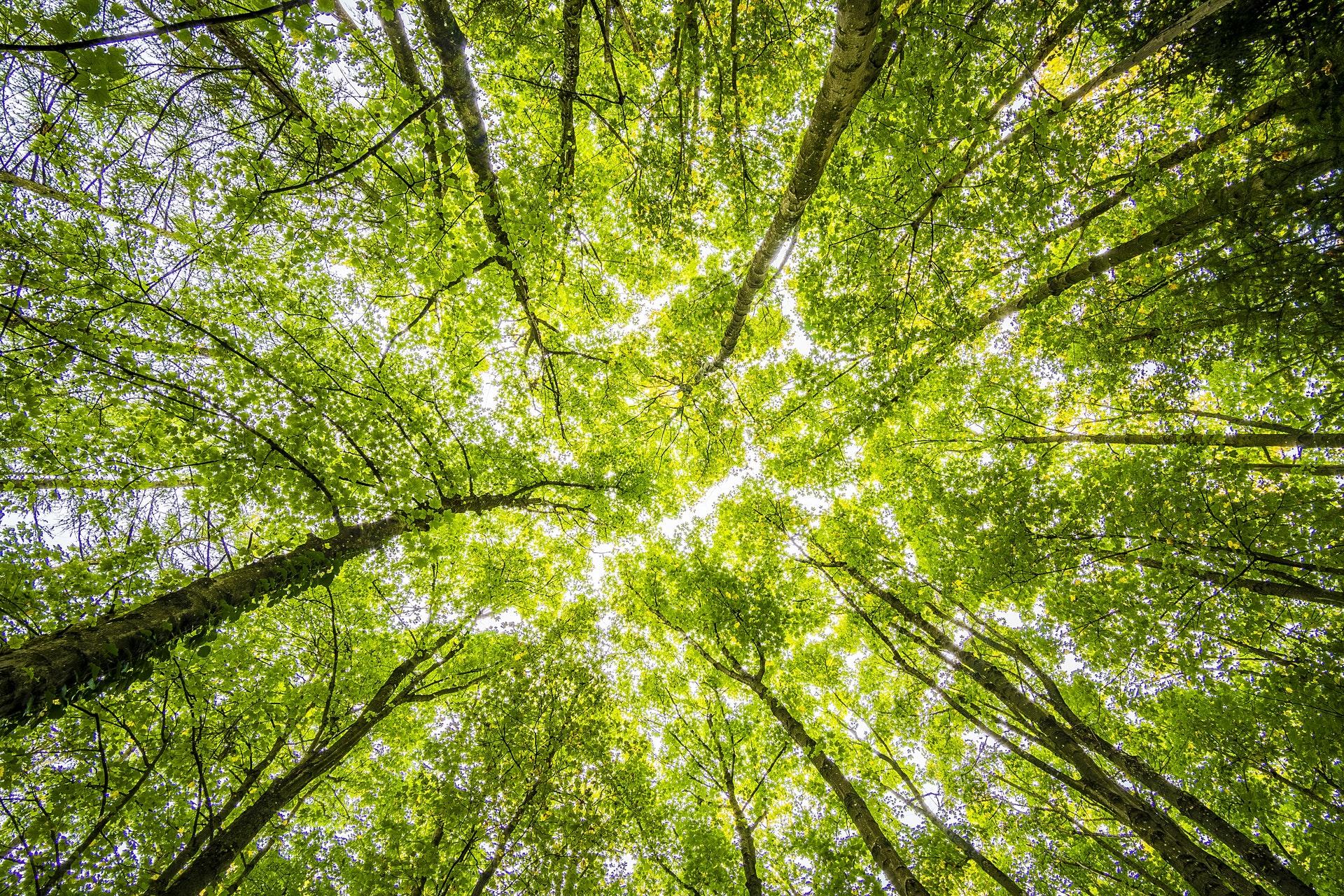 birk, birketræer, birketræ, træ, træer, skov, natur, pollen, allergi, forår, grøn