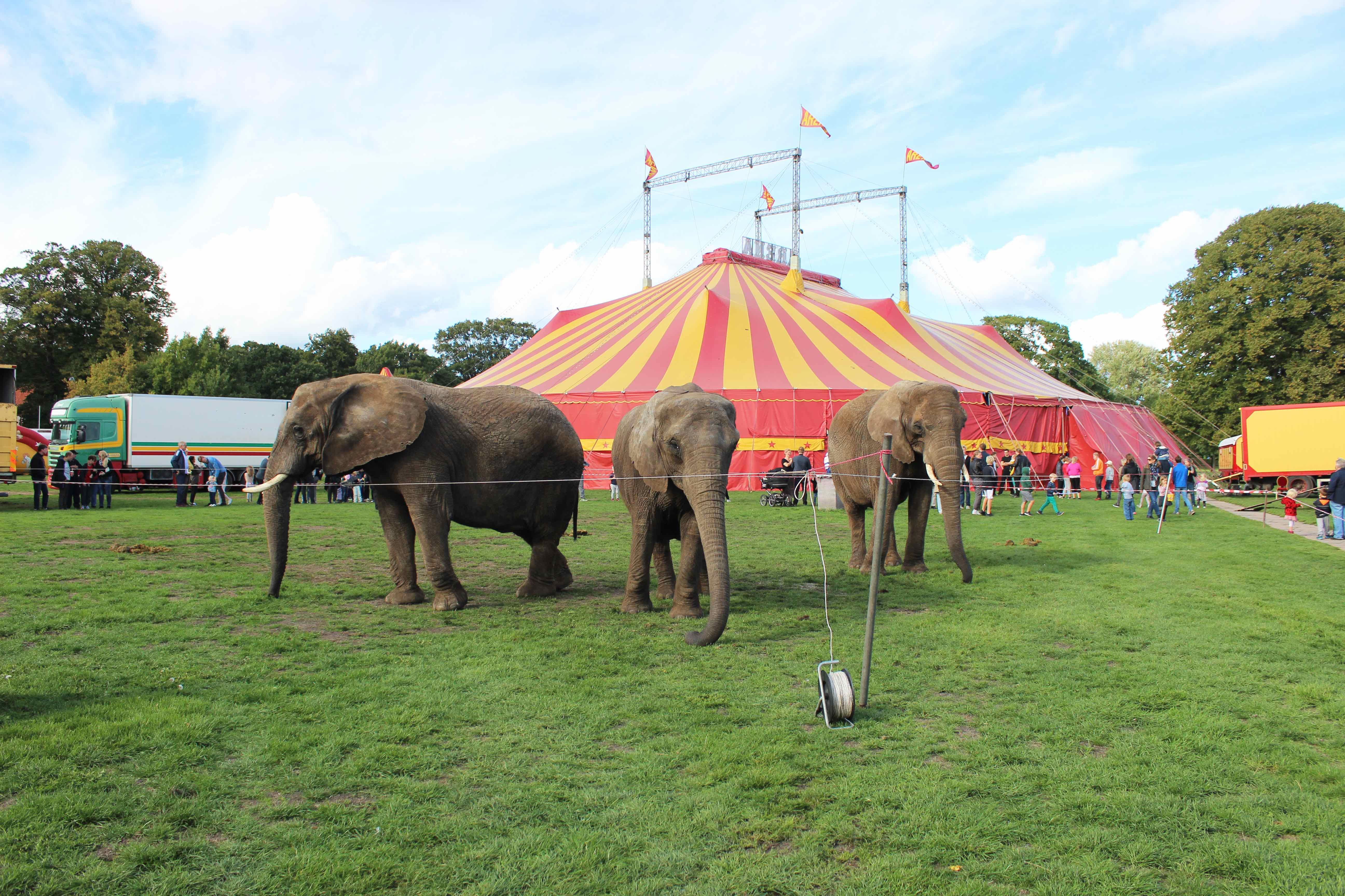 elefant, elefanter, cirkus, dyr, dyrenes beskyttelse