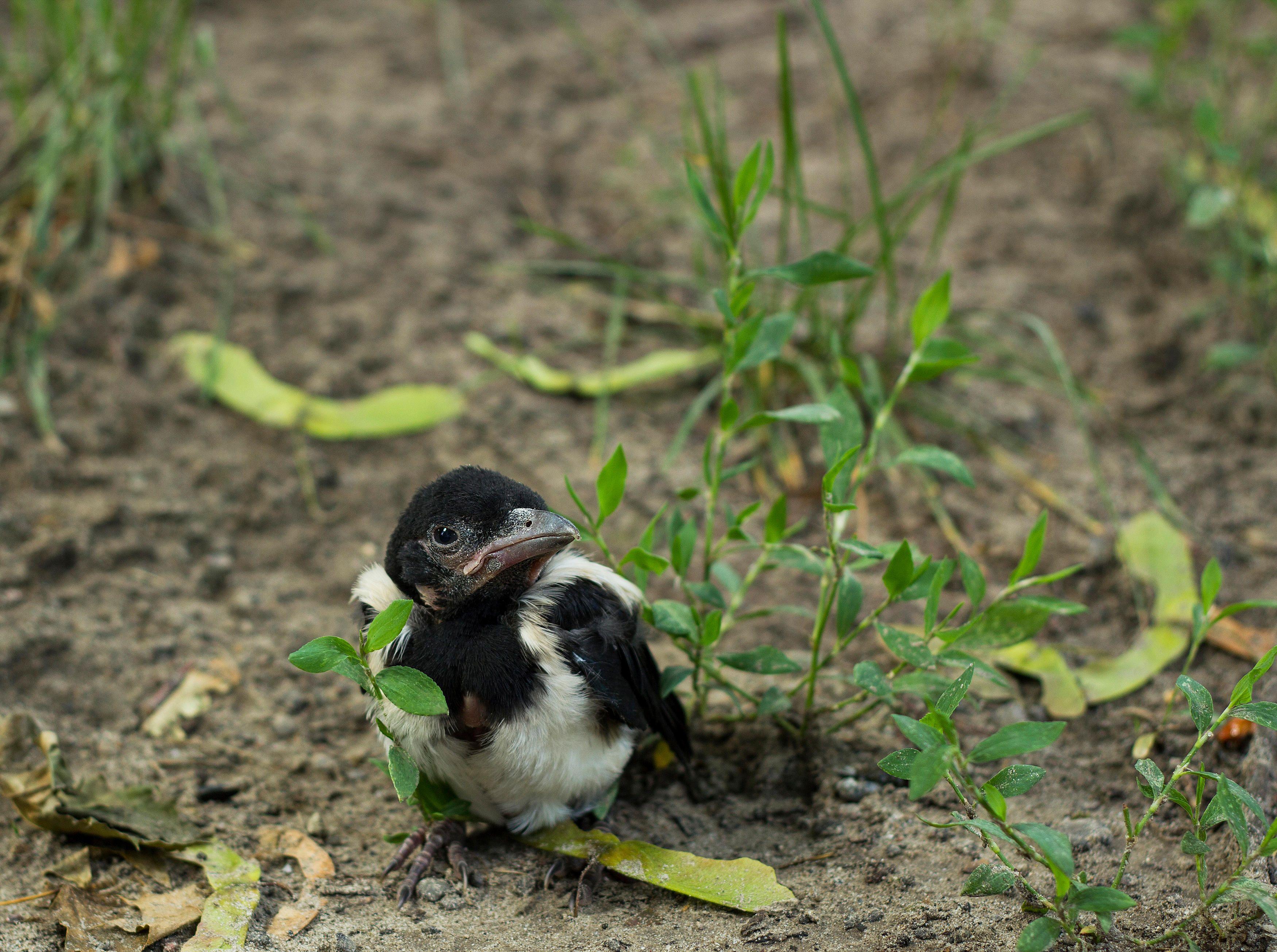fugl, fugleunge, dyr, dyrenes beskyttelse,