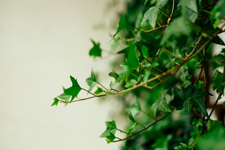 vedbend plante (Foto: Unsplash)