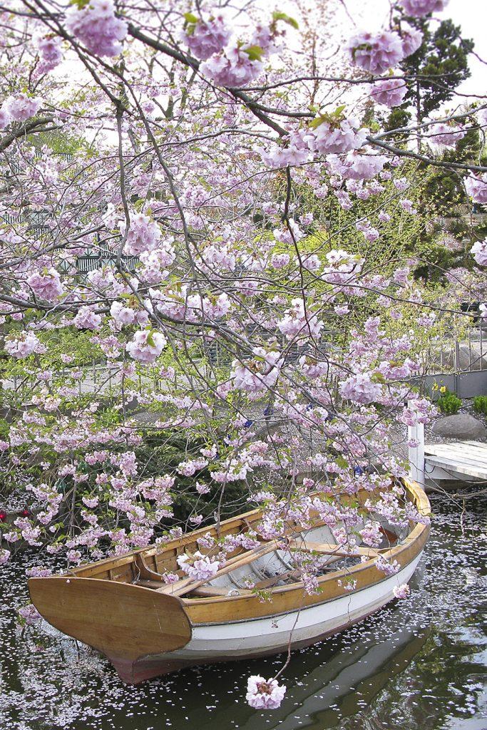 prunus og båd tivoli (Foto: Ann Malmgren)