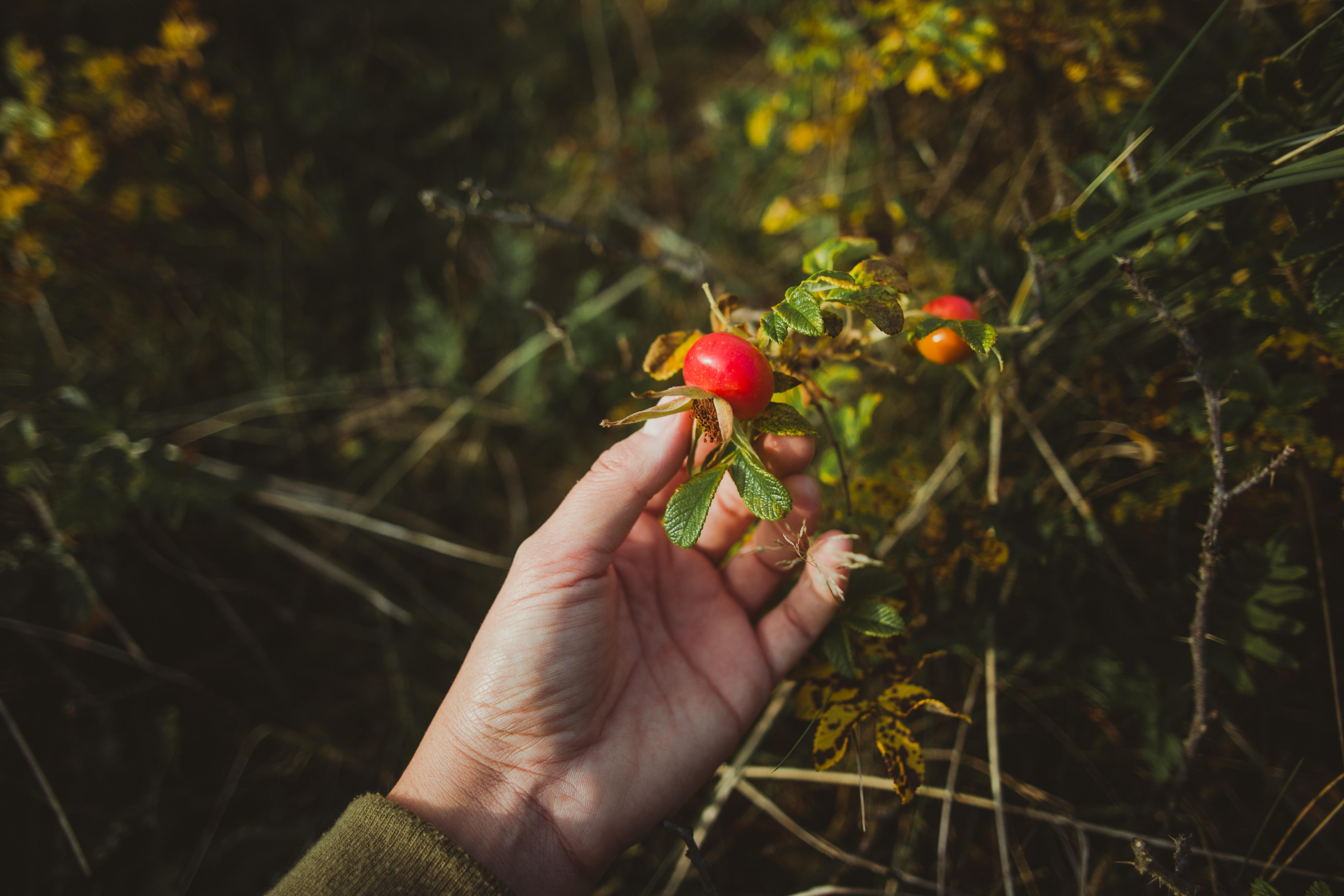 hyben, rynket rose, hybenpulver, vitamin