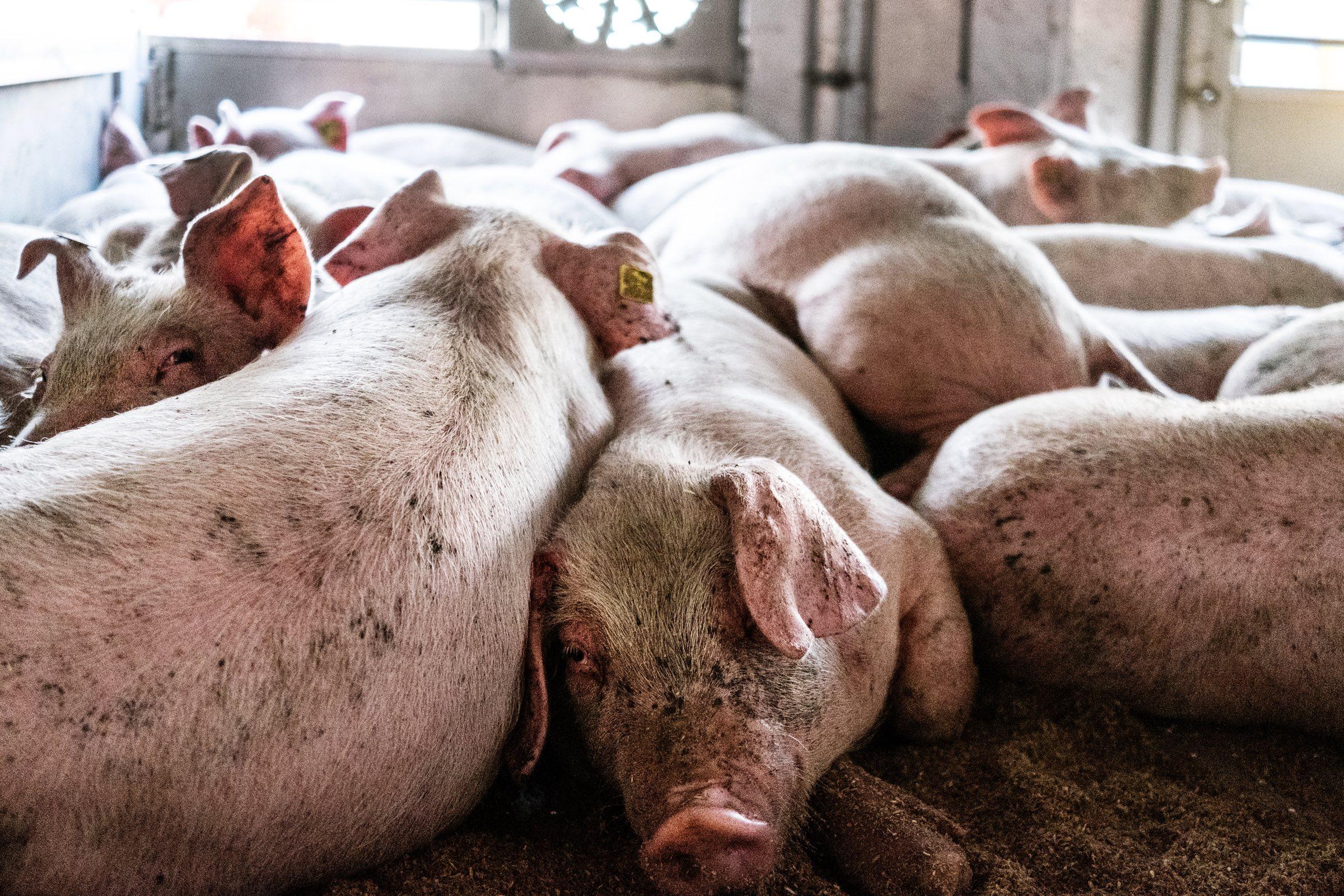 Dyrenes Beskyttelse, dyr, grise, gris, grisetransport, dyrevelfærd
