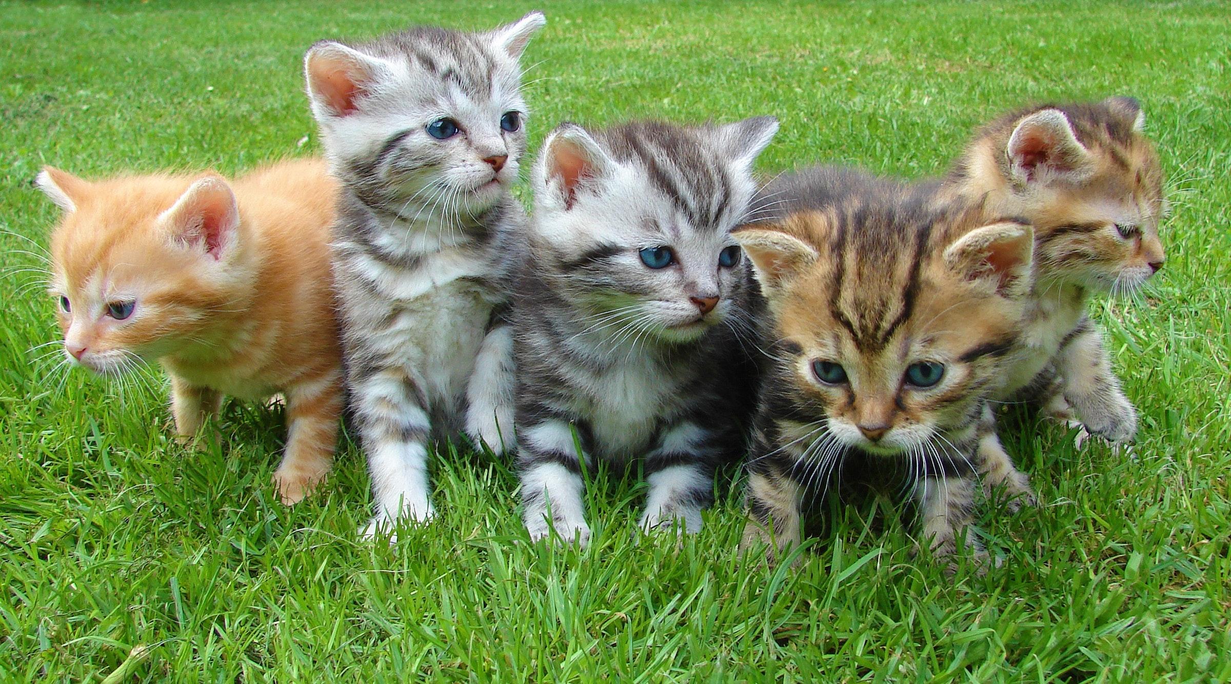 killinger, katte, dyr, sød, nuttet