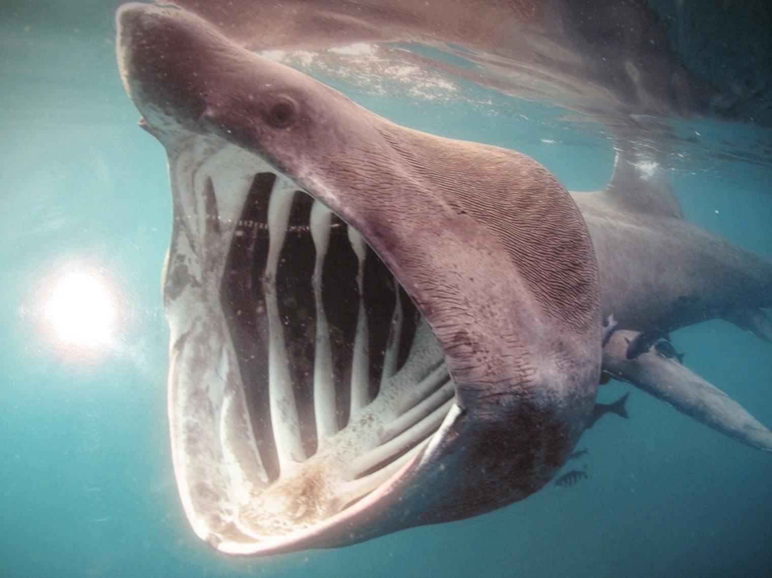 shark, haj, basking shark, brugde haj