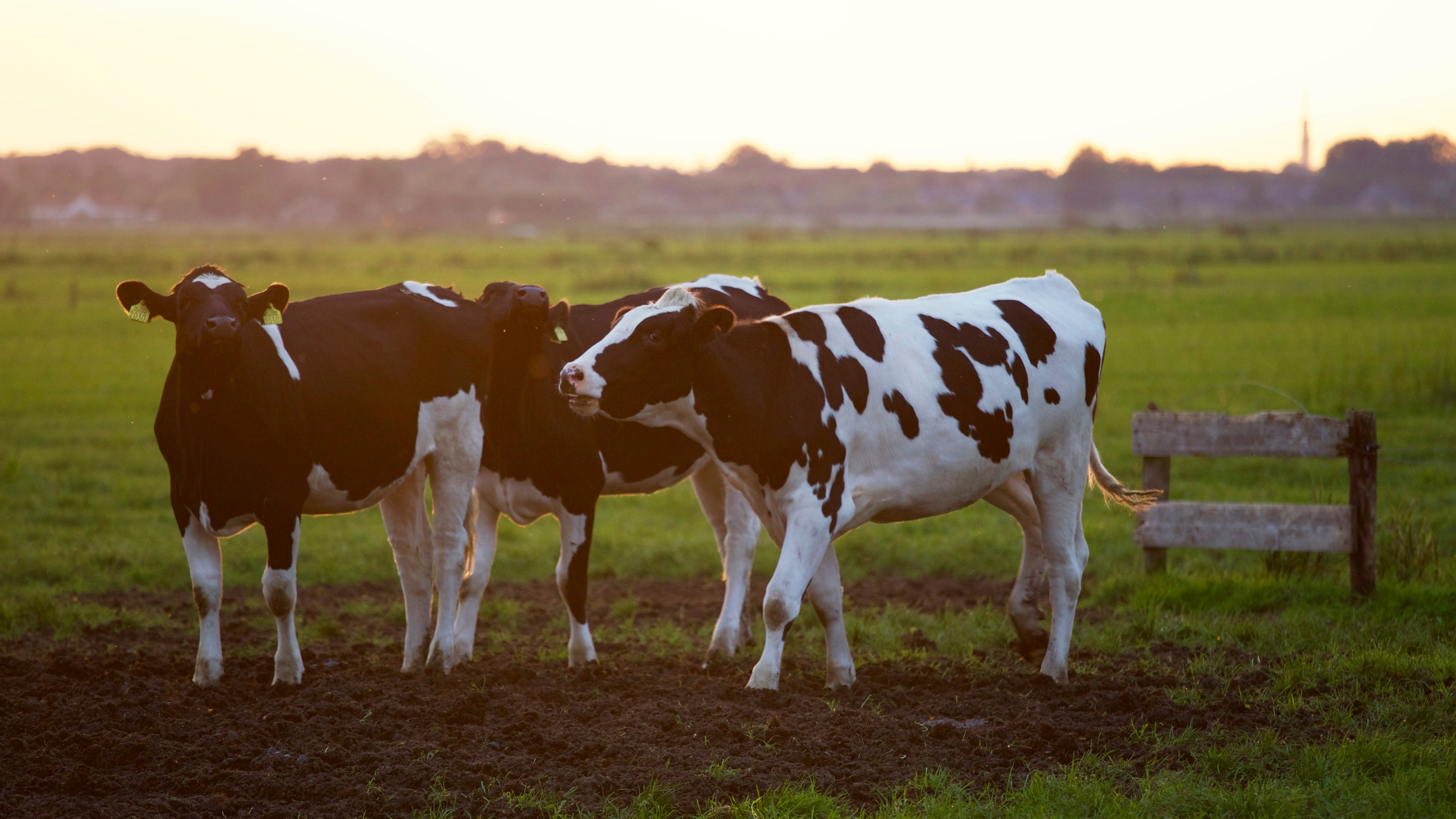 dyr, animal, ko, cow