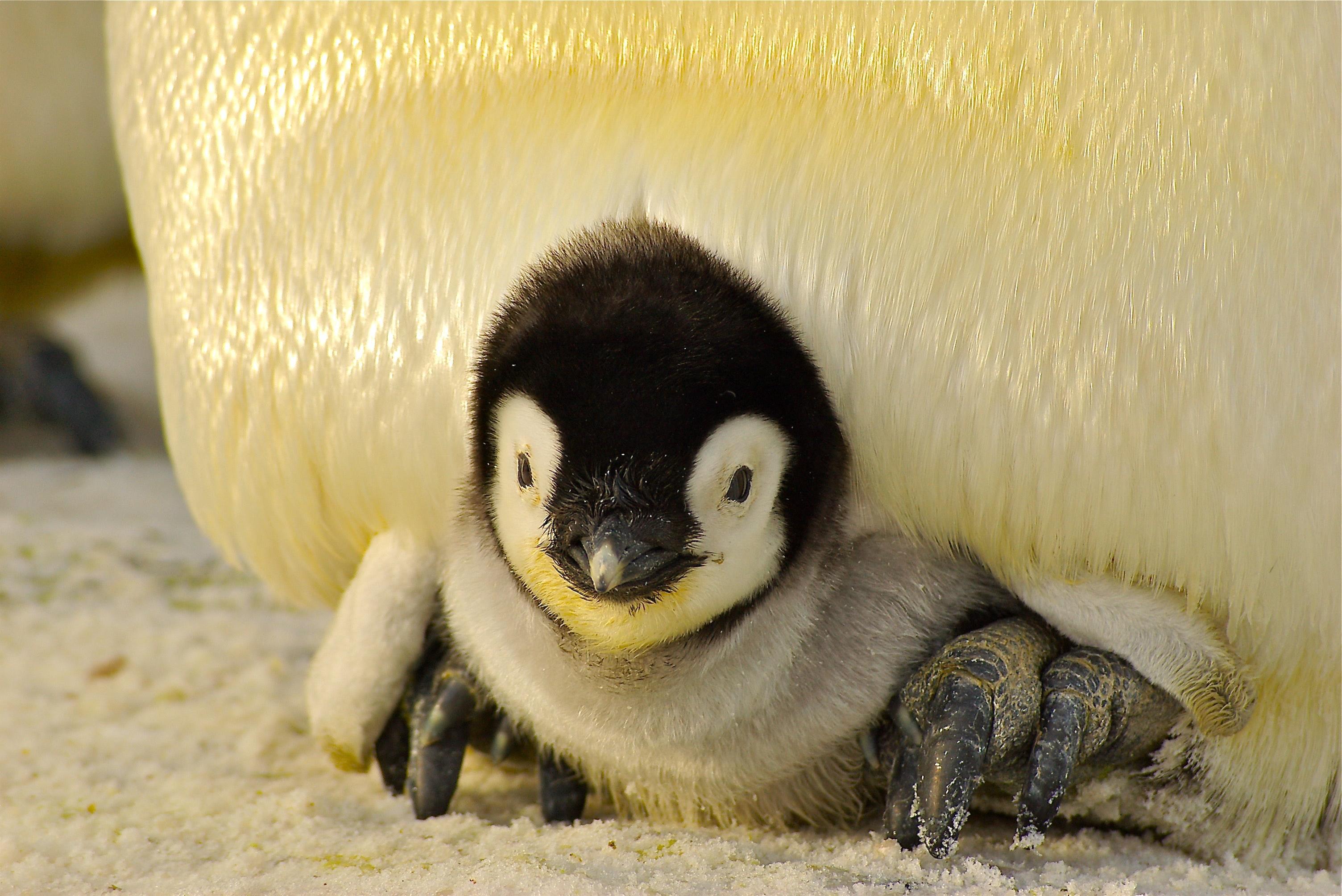 pingvin, penguin, unge, kid, zoo