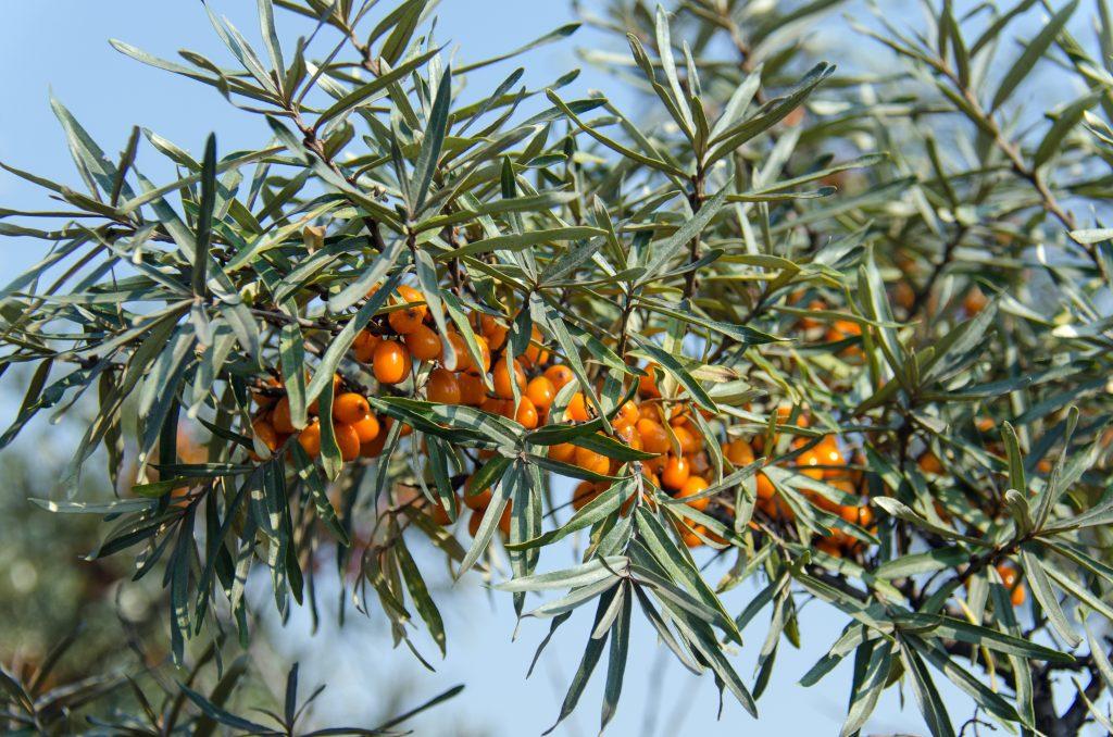 havtorn nordens citron busk sund frug (Foto: Pxhere)