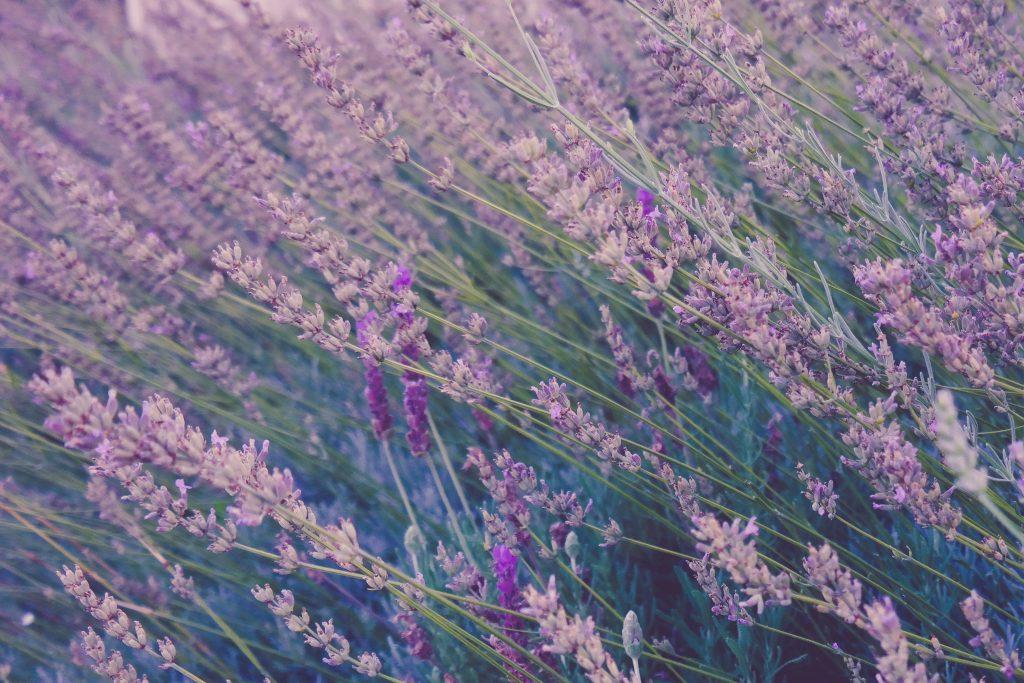 lavendel blomster italien (Foto: Unsplash)