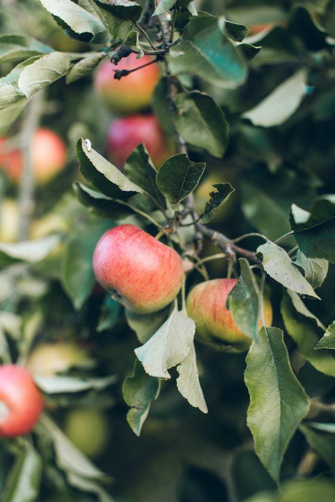 æbler frugt sund snack efterår æbletræ (Foto: Unsplash)