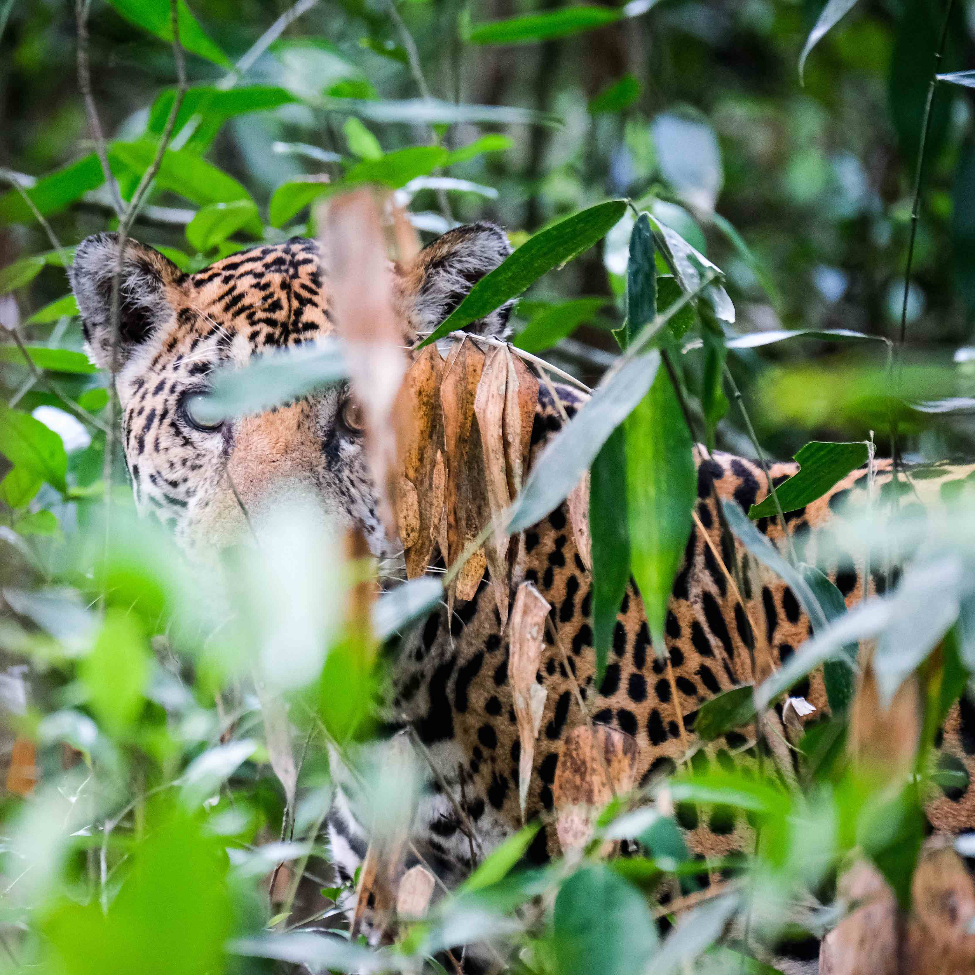 dyr, regnskov, jaguar, vilde dyr