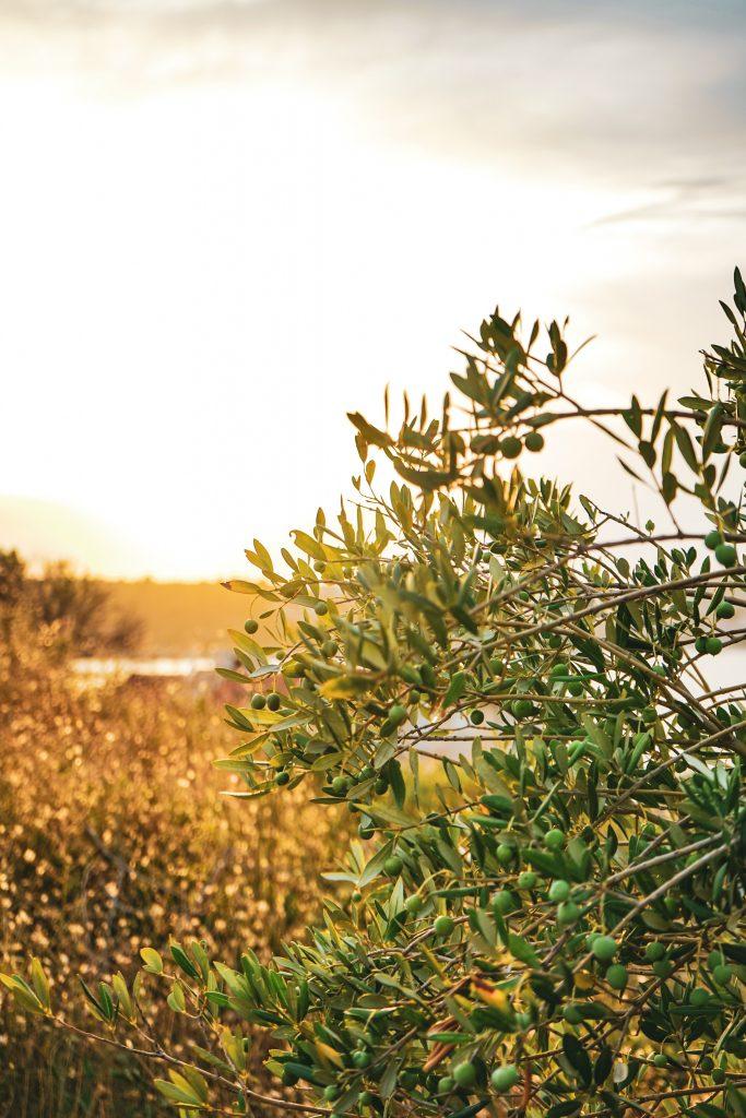 oliven italien rejse (Foto: Unsplash)