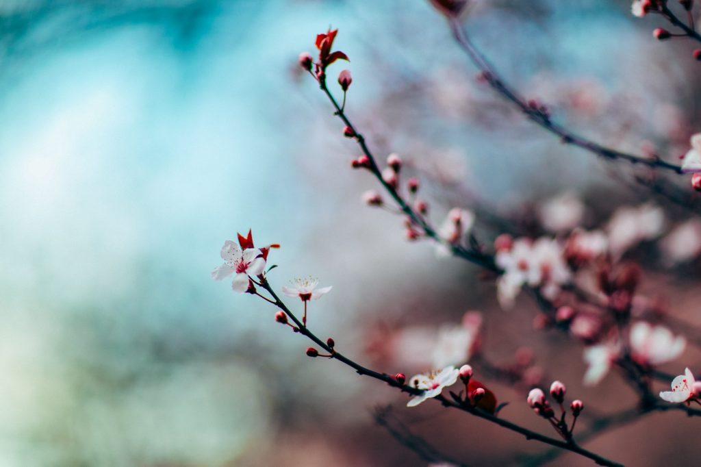 kirsebærblomster natur træ (Foto: Unsplash)