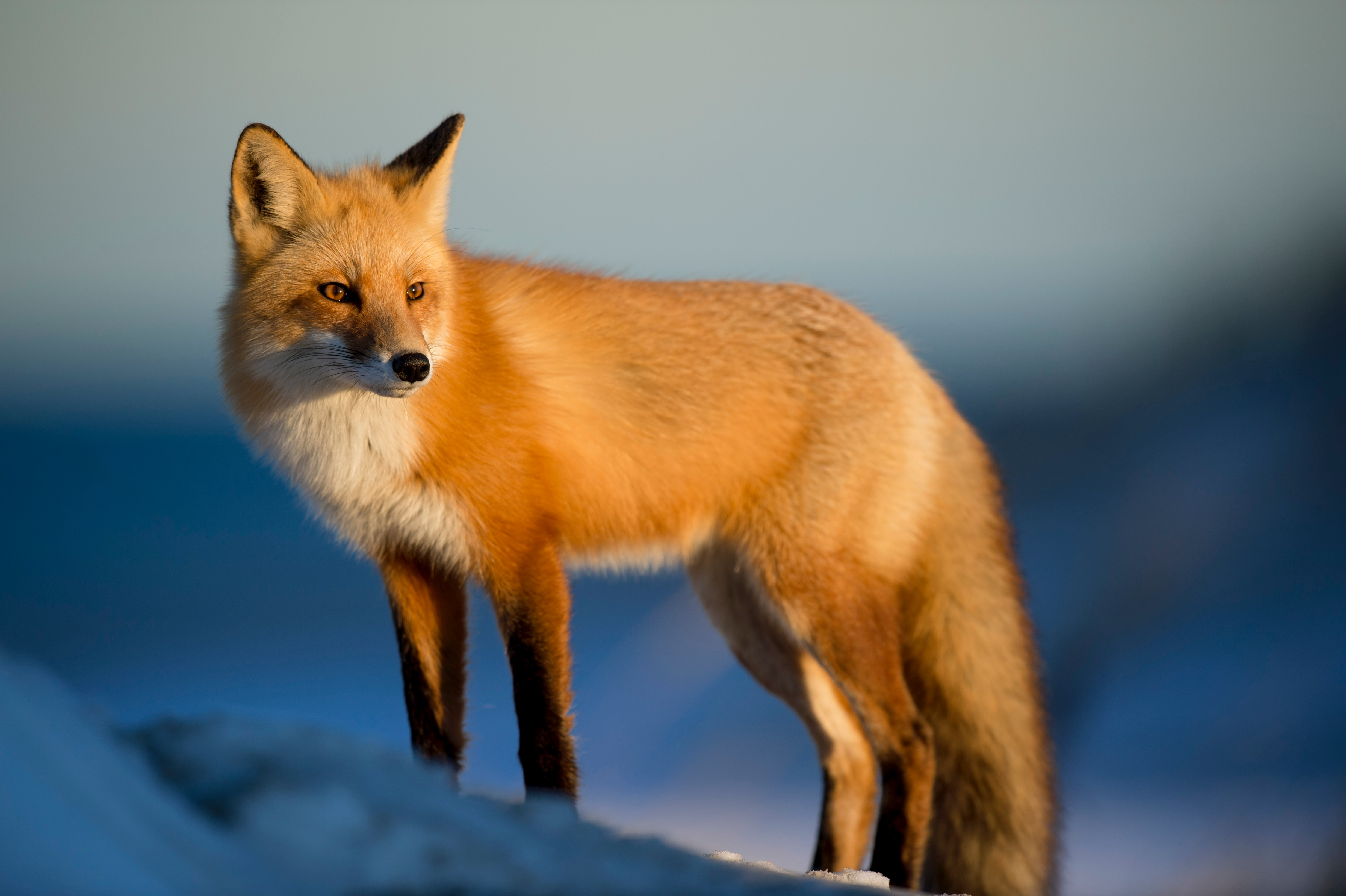 ræv, fox, dyr, arktis