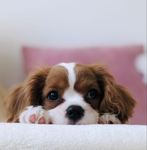 hund hvalp kæledyr (Foto: Unsplash)