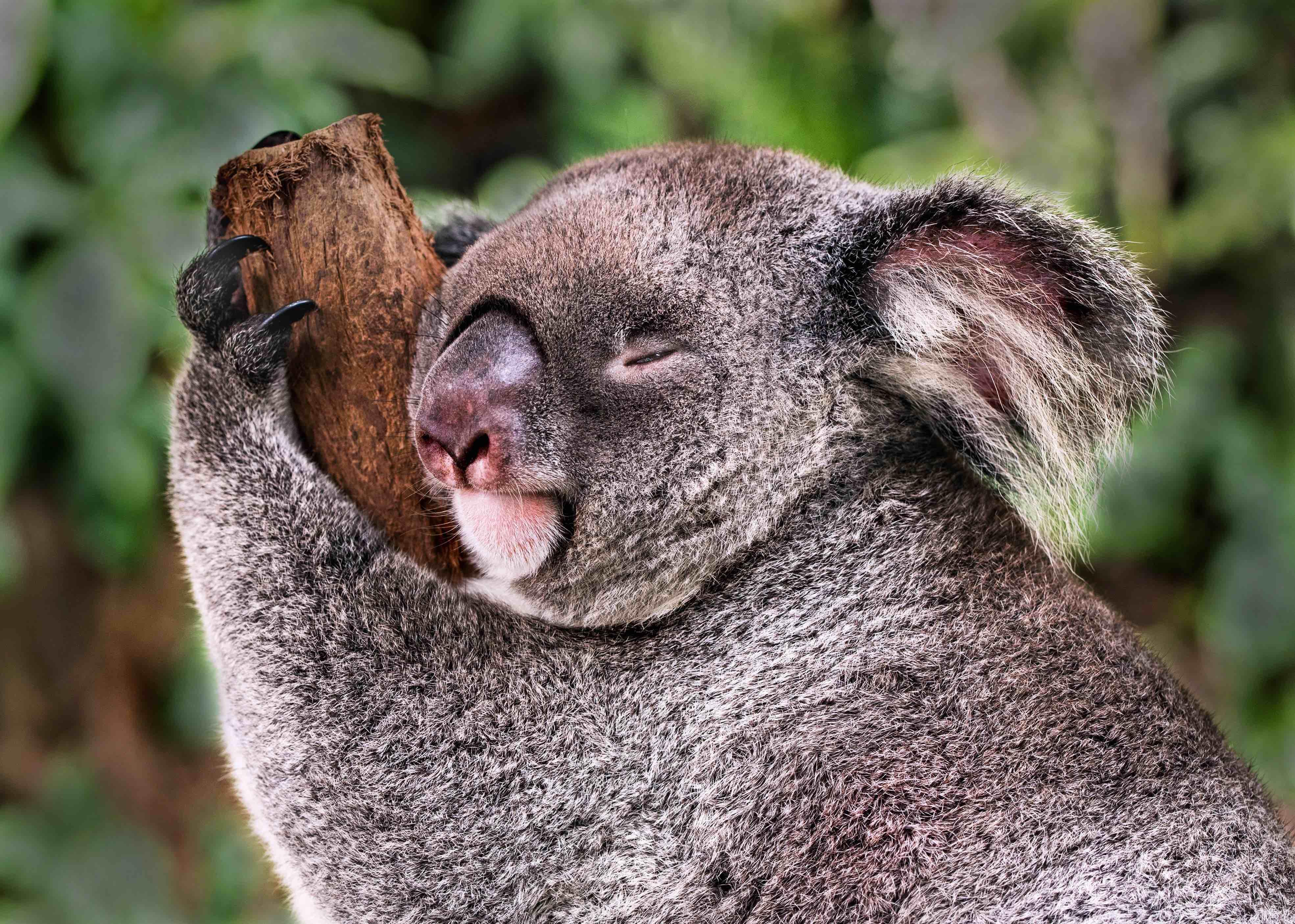 koala, koala bjørn, dyr