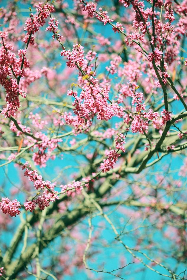 blomst træ kirsebærtræ pink (Foto: Unsplash)