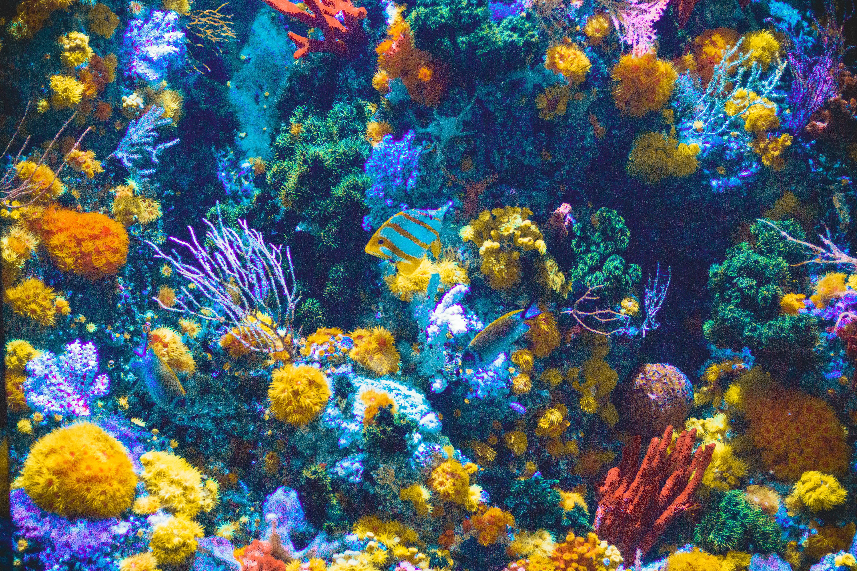 koralrev, fisk, turede, koraler, havet, blå, gul, lilla. (Foto: Unsplash)