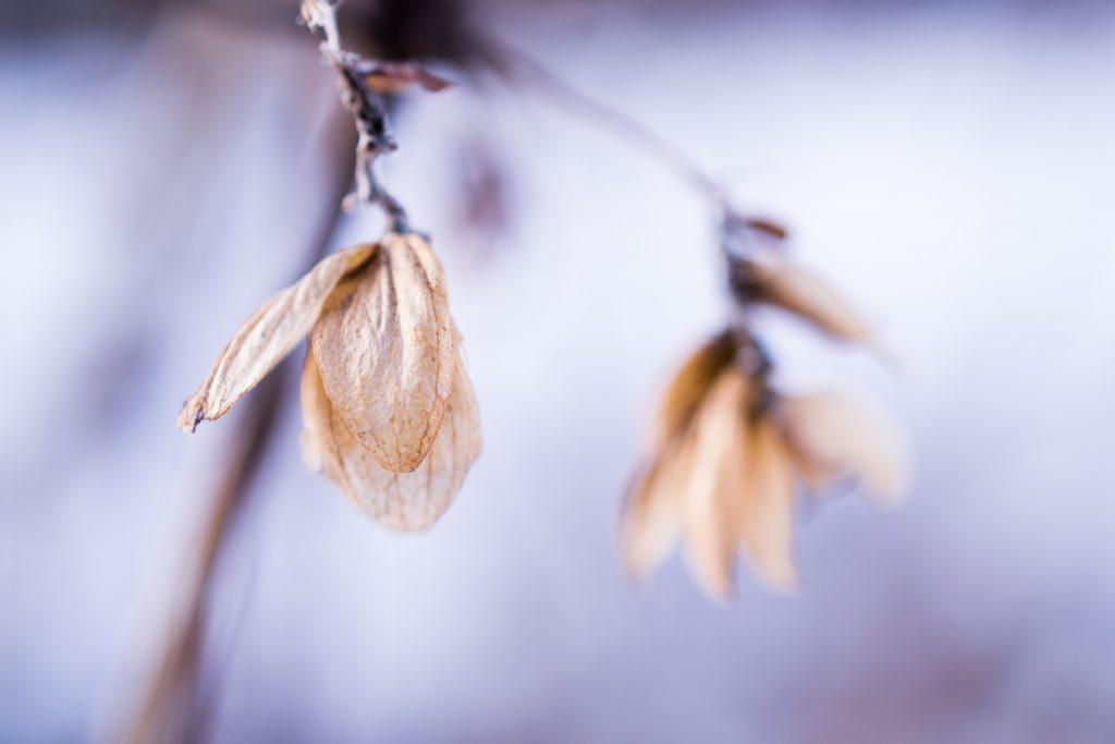 plant tør tørhed blomst vissen vinter (Foto: Unsplash)