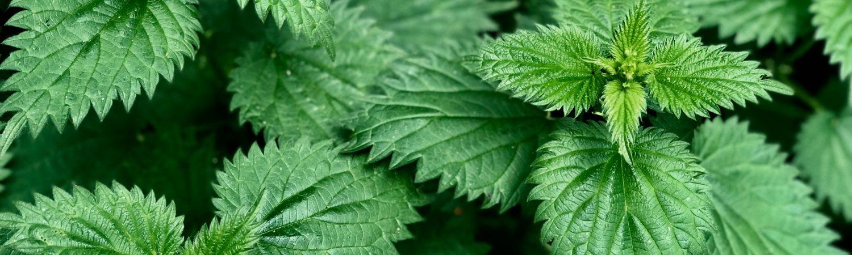 brændenælde ukrudt urter naturen (Foto: Unsplash)