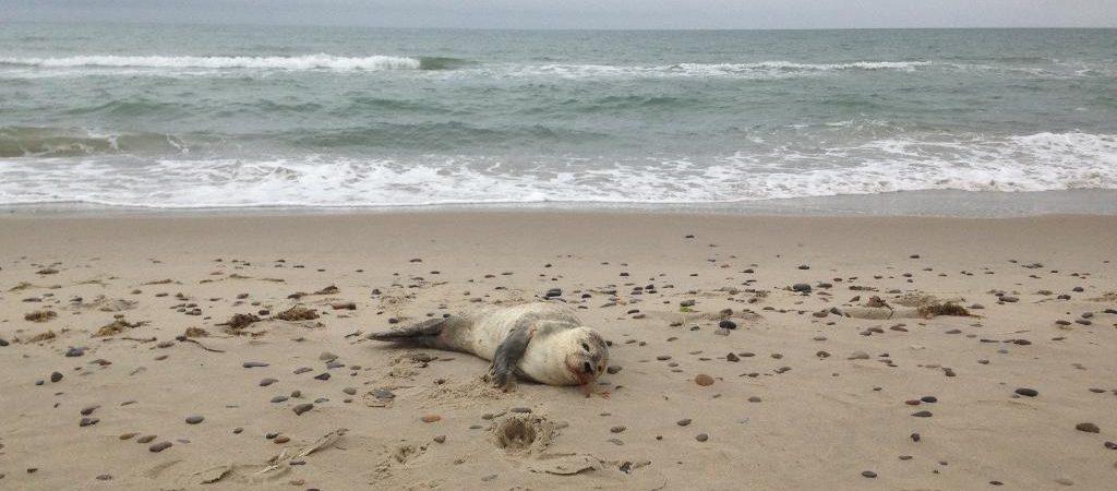 Dyr sæl strand Dyrenes Beskyttelse (Foto: Dyrenes Beskyttelse)