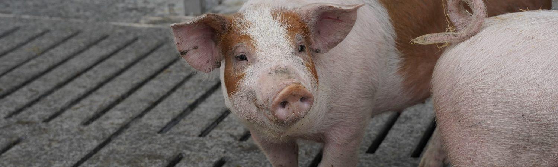 Gris, dyrevelfærd, grise, ny lov. (Foto: Dyrenes Beskyttelse)