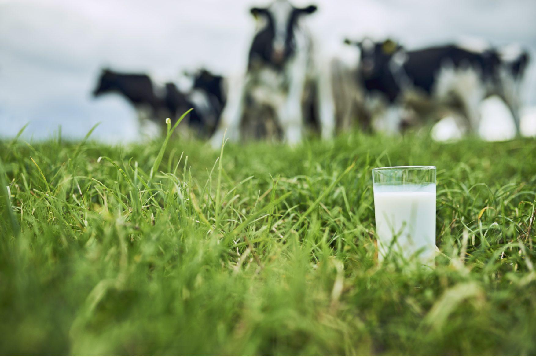 mælk, køer, græs, det danskerne savner mest. (Foto: Mejeriforeningen)