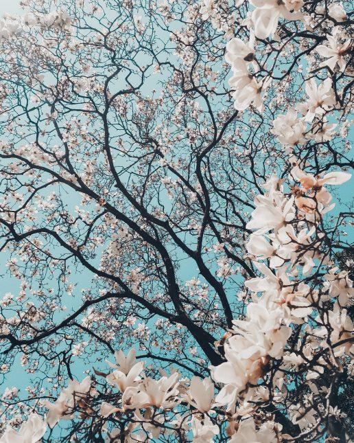 forår grene blomsergrene magnolietræ (Foto: Unsplash)