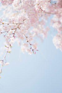forår grene lyserød (Foto: Unsplash)