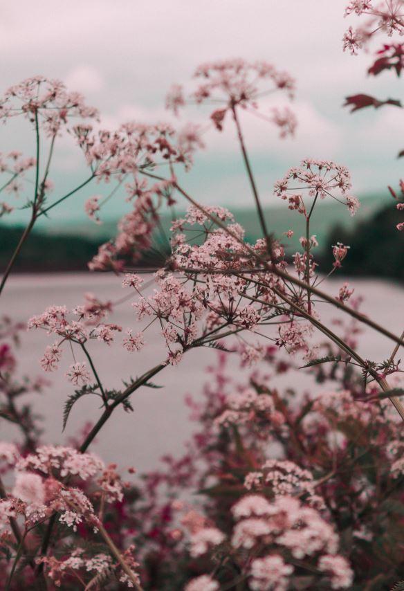 natur lyserød blomster (Foto: Unsplash)