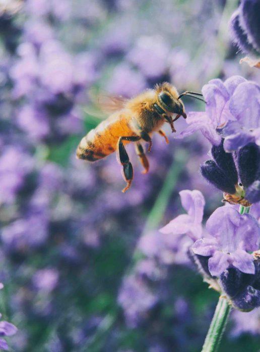 bi natur lavendel (Foto: Unsplash)
