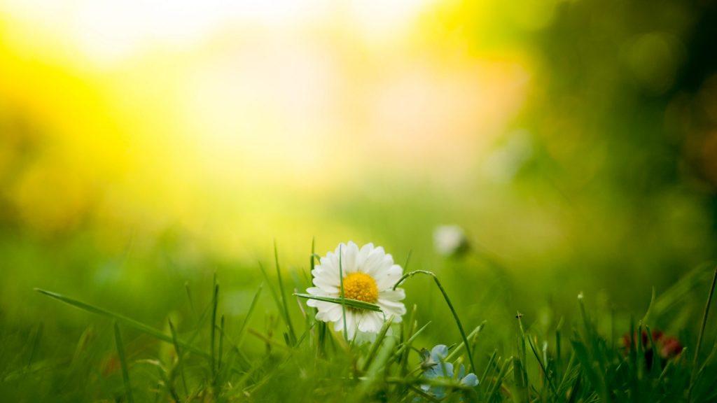 græs bellis natur (Foto: Unsplash)