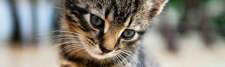 kat, killing, kæledyr