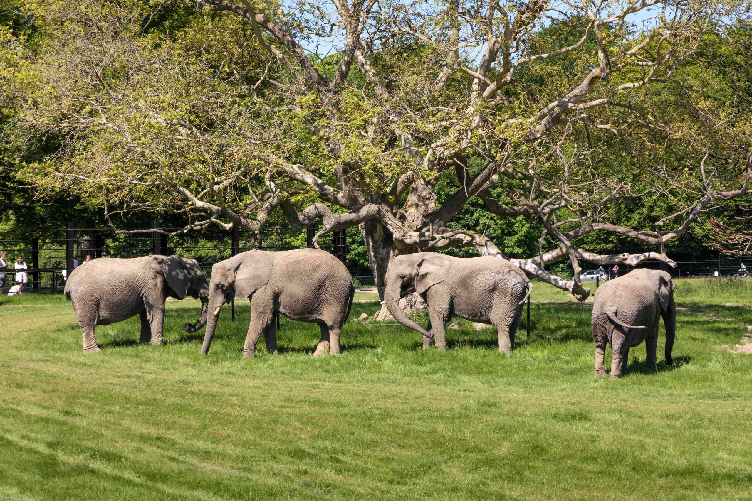 cirkuselefanter, elefanter, safari, park, knuthenborg